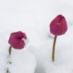 tulips_in_snow